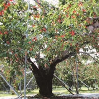 木になるさくらんぼ