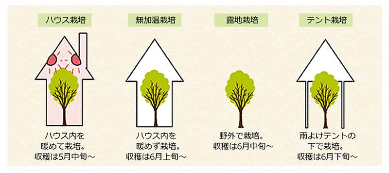 さくらんぼの栽培方法