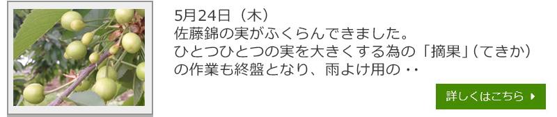 1805254さくらんぼ生育日記