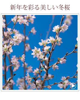 ジャンルから選ぶ-啓翁桜